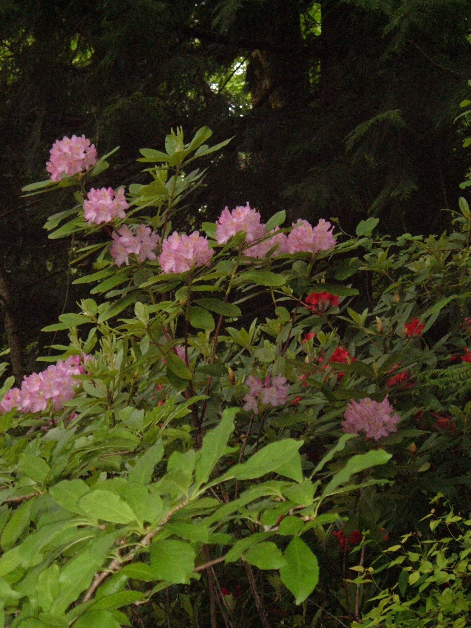 Rhododendron in landscape near woods