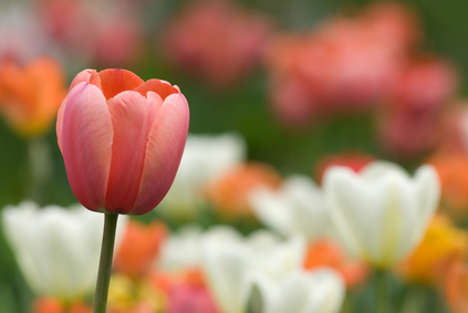 Growing tulips in the garden