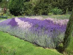 A small field of lavender